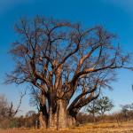 victoria falls big baobab tree