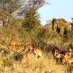 sapi chewore safari