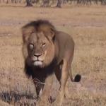 Cecil lion killed in Zimbabwe by US hunter dentist Walter Palmer