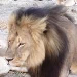 cecil the lion picture
