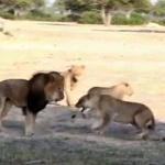 jericho, cecil  the hwange lion