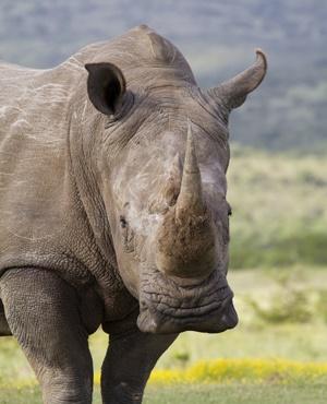 ntombi rhino at matobo zimbabwe